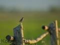 świergotek łąkowy