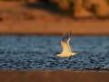 rybitwa białoczelna