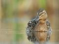 kaczka krzyzowka